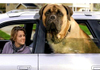 Giant_english_mastiff